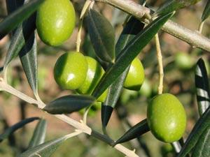 Olives vertes : olivier